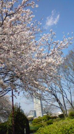 横浜の桜♪