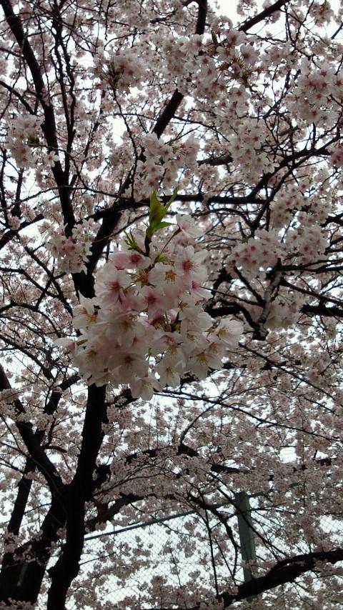 さくらサクラ桜SAKURA